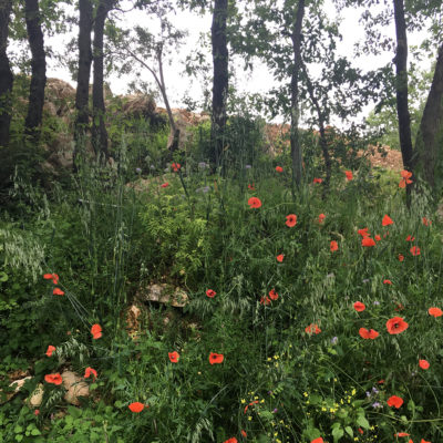 Wild poppies in Ciociaria