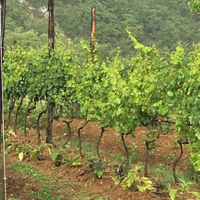 Companion planting at organic vineyard - Ciociaria