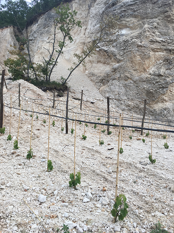 Growing vines in calcium rock - Ciociaria
